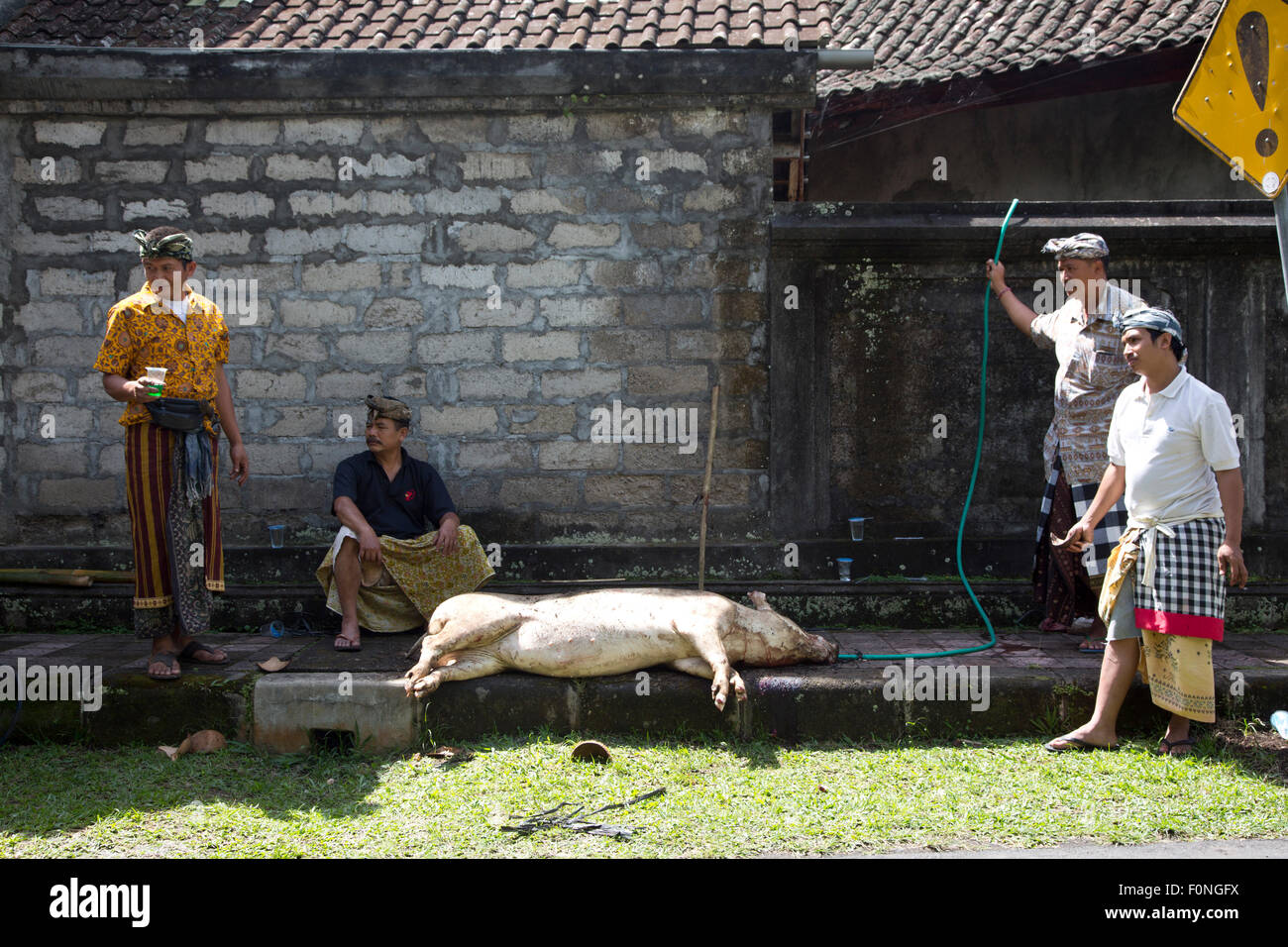 Men sacrificing a pig in preparation for a ceremony in Bali Indonesia - Stock Image