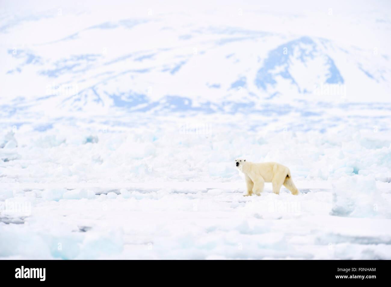 Polar Bear (Ursus maritimus) adult, walking on melting icefloe, floe edge, with Bylot island behind, Baffin Bay, Stock Photo