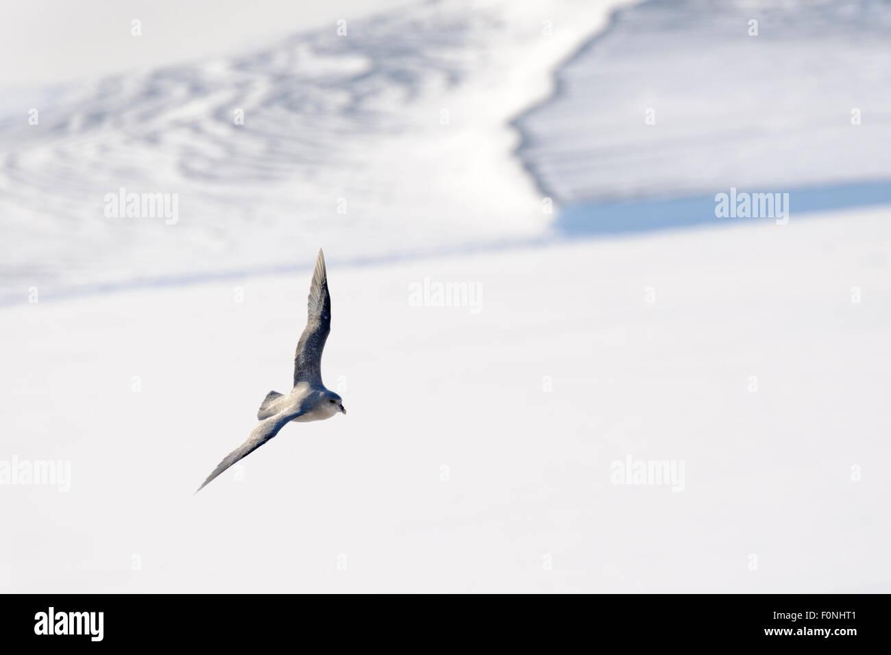 Northern Fulmar (Fulmaris glacialis) flying over frozen fjord, Tempelfjorden, Spitsbergen, Svalbard, Norway. - Stock Image