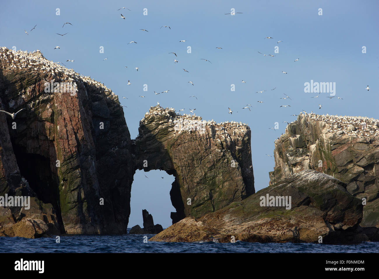 Northern gannet (Morus bassanus) colony, The Flannans, Outer Hebrides, Scotland, July 2009 - Stock Image