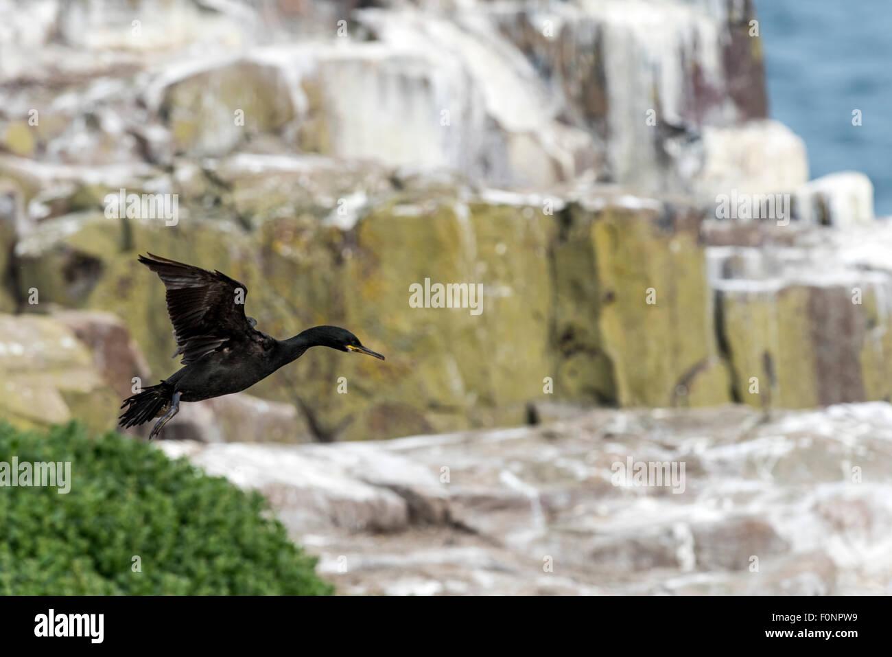 Shag in flight (Phalacrocorax aristotelis) Farne Islands, England, Great Britain, United Kingdom - Stock Image