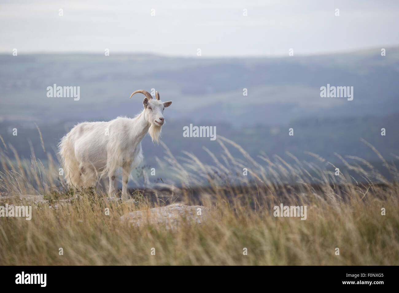 Wild Kashmiri goats Capra falconeri cashmiriensis Capra Markhor roaming the Great Orme grassland in Llandudno North - Stock Image