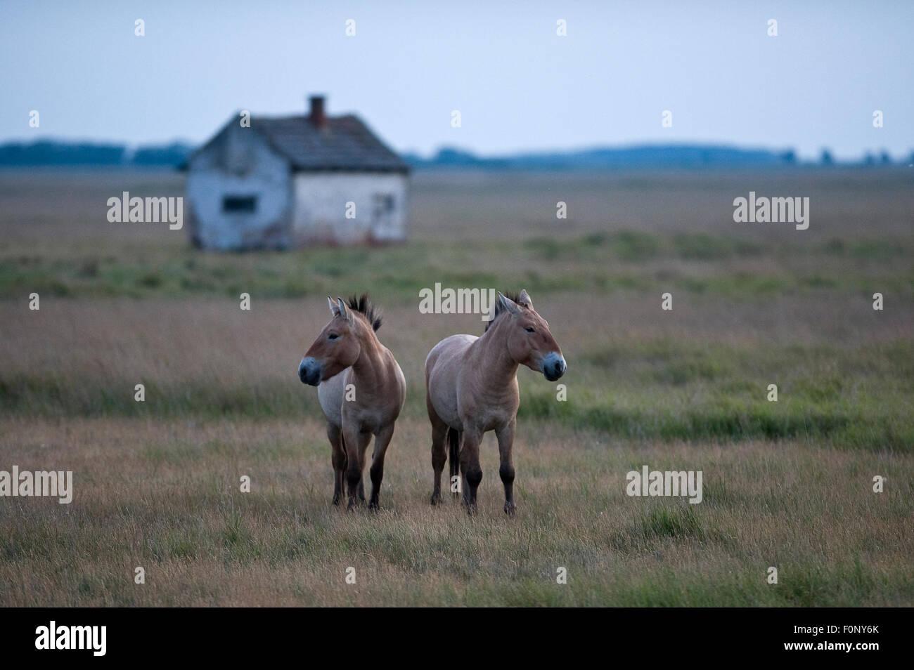 Two Przewalski horses (Equus ferus przewalskii) Hortobagy National Park, Hungary, May 2009 Stock Photo