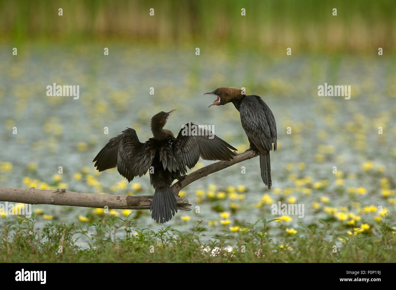 Two Pygmy cormorants (Microcarbo pygmeus) on a branch, one drying its wings, the other calling, Hortobagy National - Stock Image