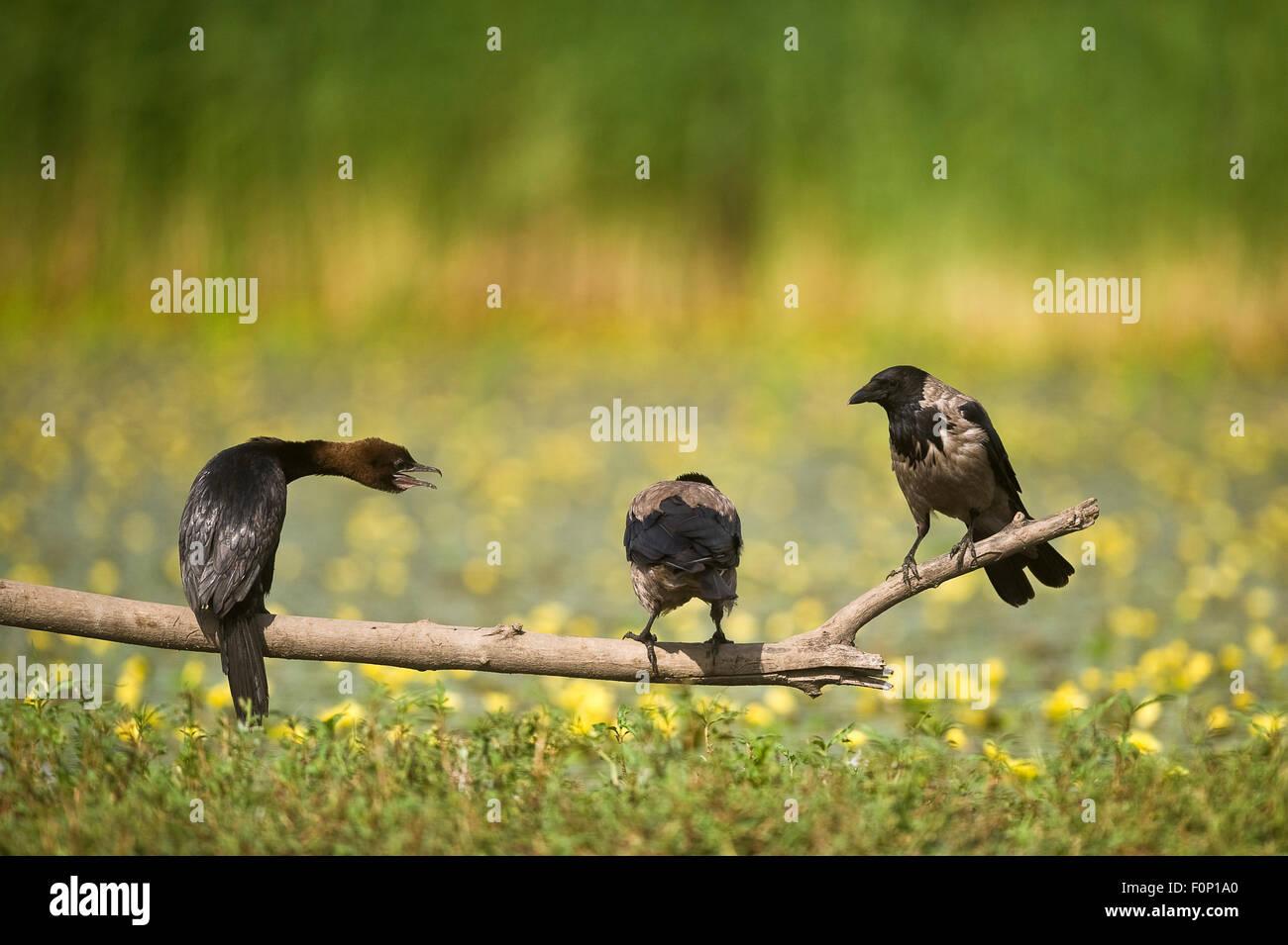 Pygmy cormorant (Phalacrocorax pygmeus) and two Hooded crows (Corvus cornix) on a branch, Hortobagy National Park, - Stock Image