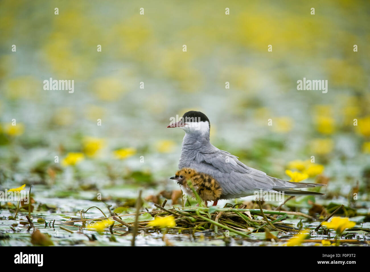 Whiskered tern (Chlidonias hybridus) with chick on water covered with flowering Fringed water lilies / Yellow floating - Stock Image