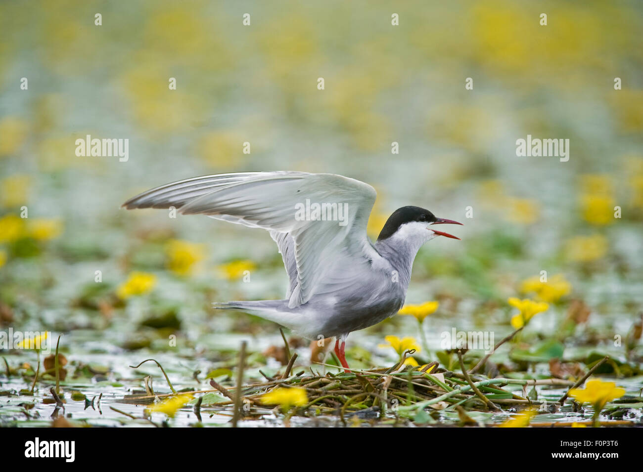 Whiskered tern (Chlidonias hybridus) calling on lake covered with flowering Fringed water lilies / Yellow floating - Stock Image