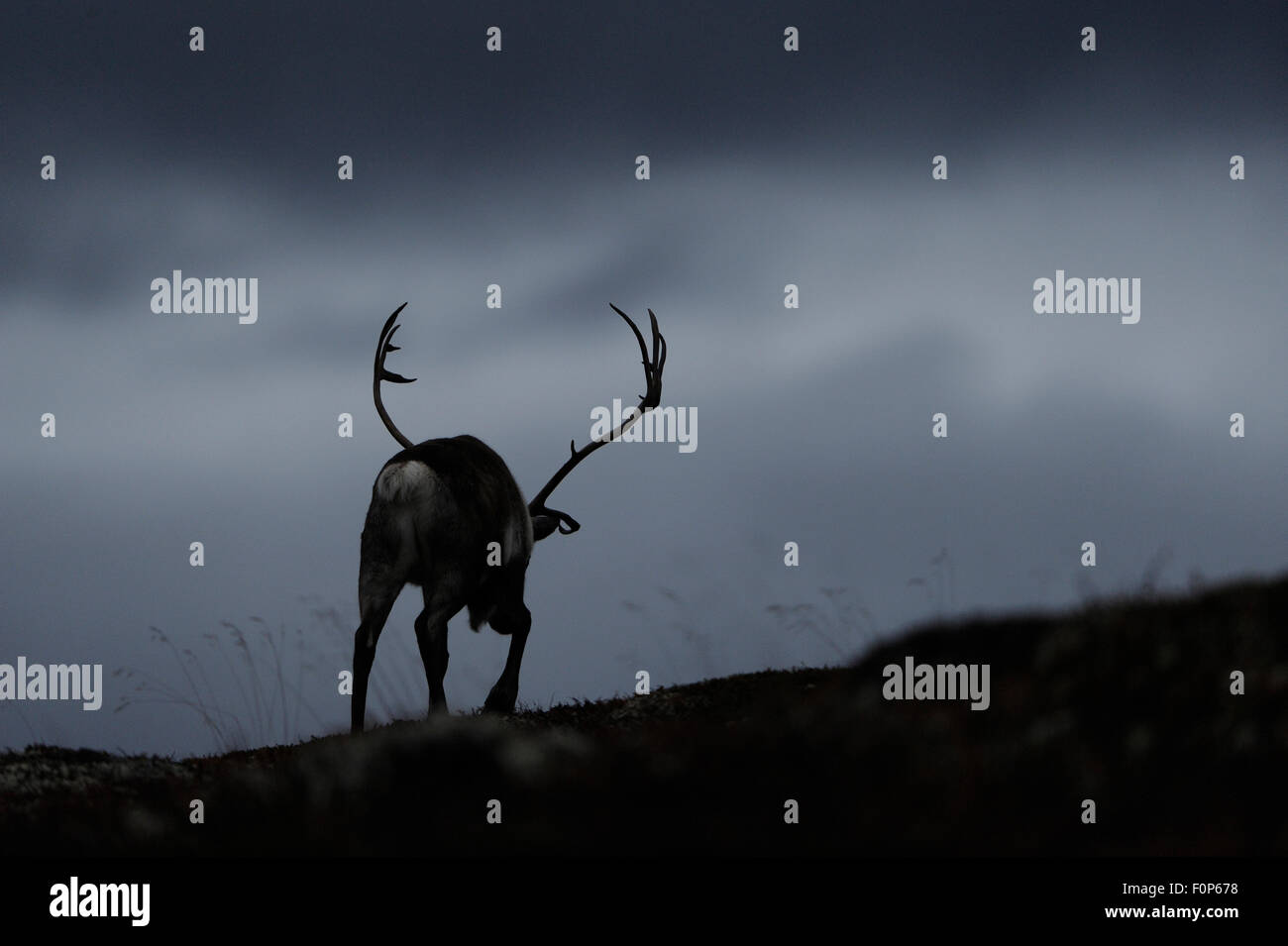Silhouettet of Reindeer (Rangifer tarandus) rear view, walking away, wild herd, Forollhogna National Park, Norway, - Stock Image