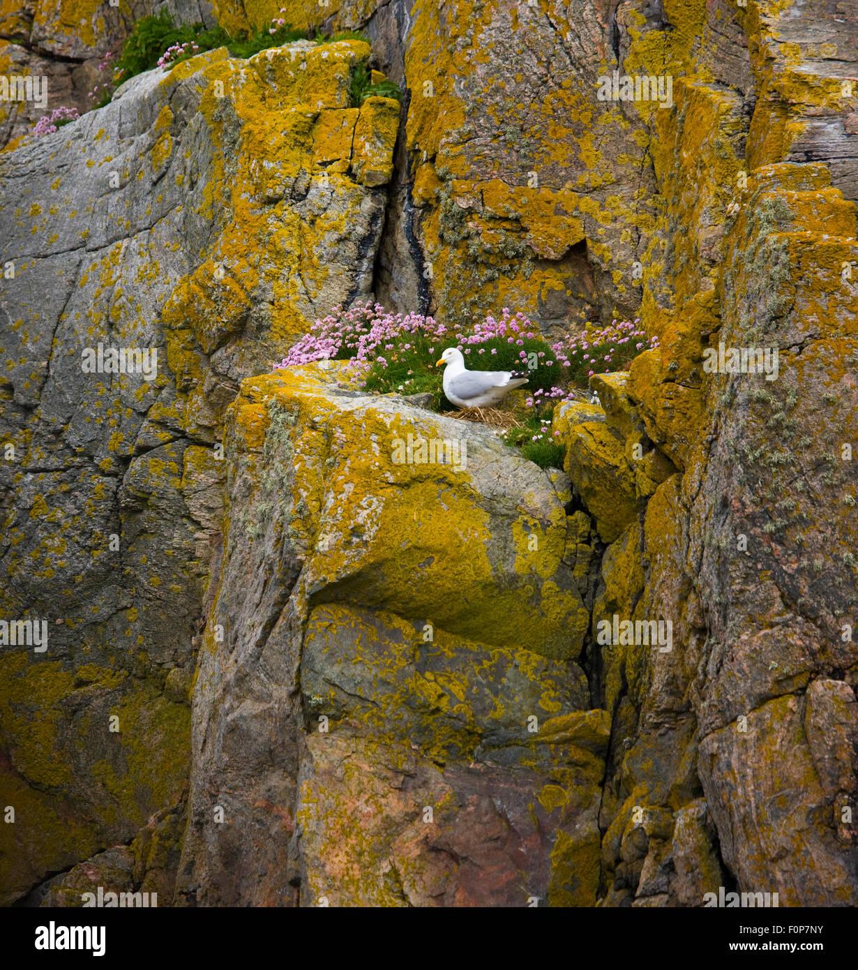 Herring gull (Larus argentatus) on nest, Great Bernera, Lewis, Outer Hebrides, Scotland, UK, June 2009 - Stock Image