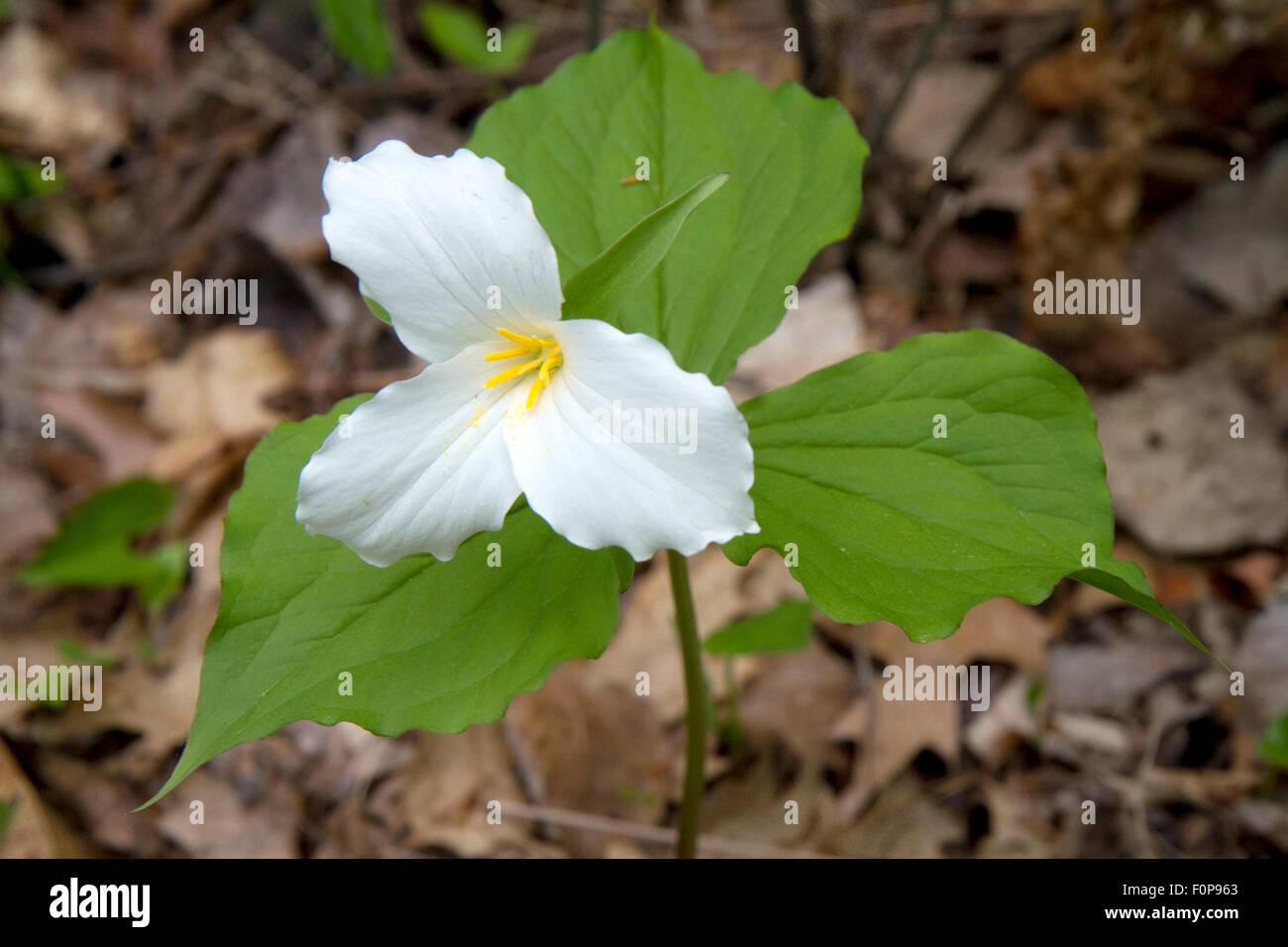 Trillium Flower Stock Photos Trillium Flower Stock Images Alamy