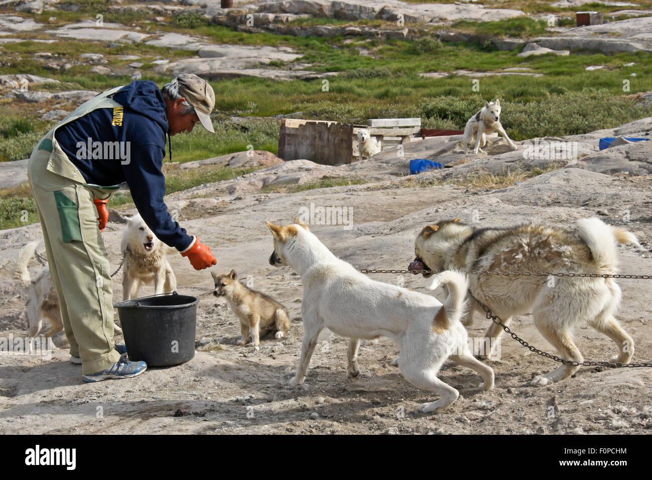 Man feeding sledge dogs, Ilulissat, West Greenland - Stock Image