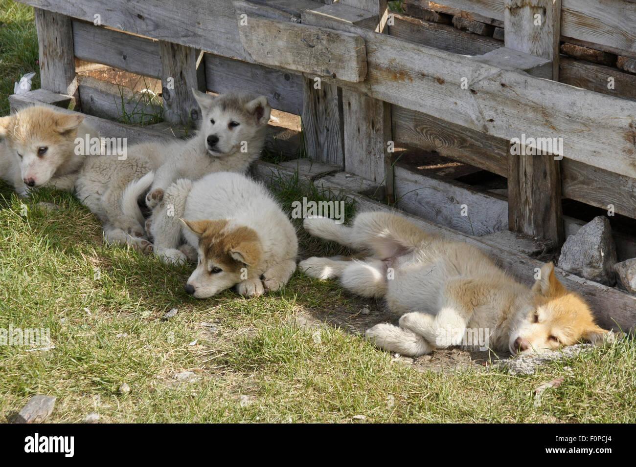 Greenlandic sledge dog pups resting, Ilulissat, West Greenland - Stock Image