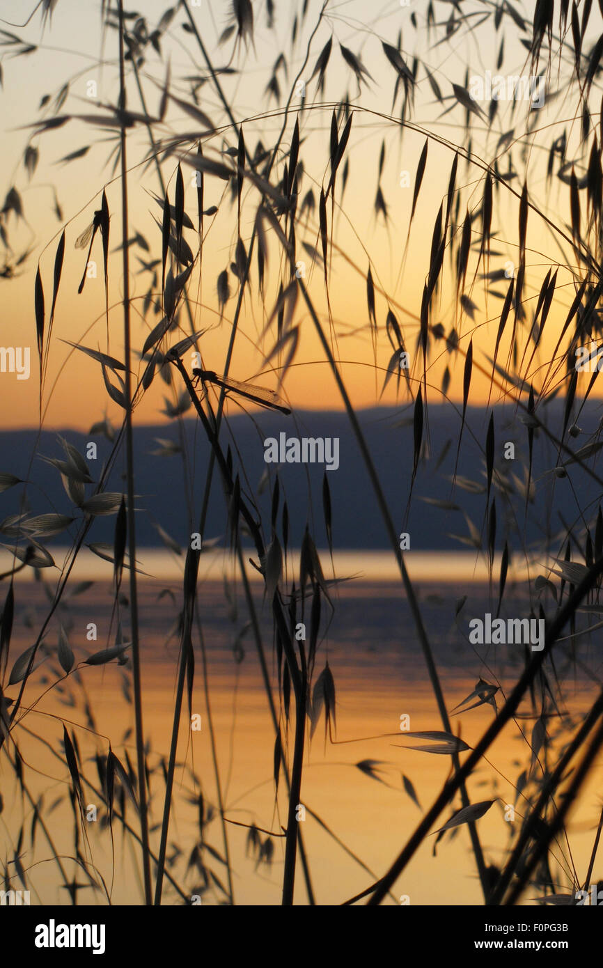 Damselflies roosting amongst Wild oat grass (Avena fatua) silhouetted against the sun setting over lake Ohrid, Lagadin Stock Photo