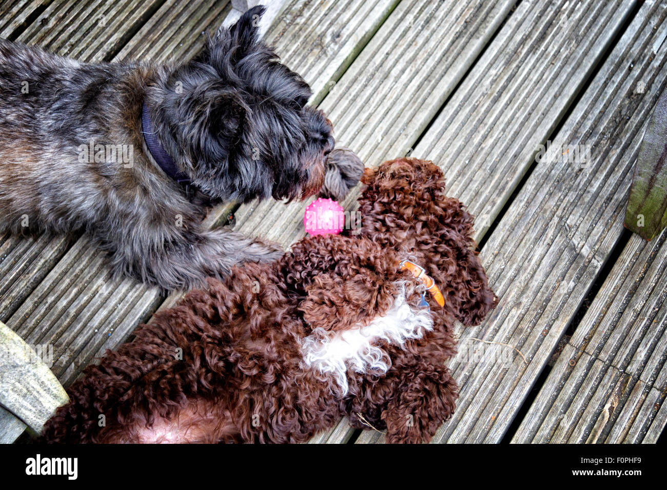 Cairn terrier dog and a Cockerpoo puppy playing with a ball - Stock Image