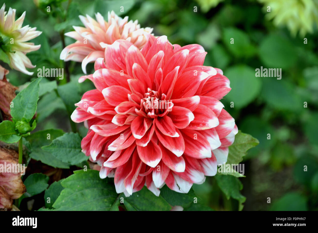 Dalia flowers stock photos dalia flowers stock images alamy beautiful dalia flowers stock image izmirmasajfo
