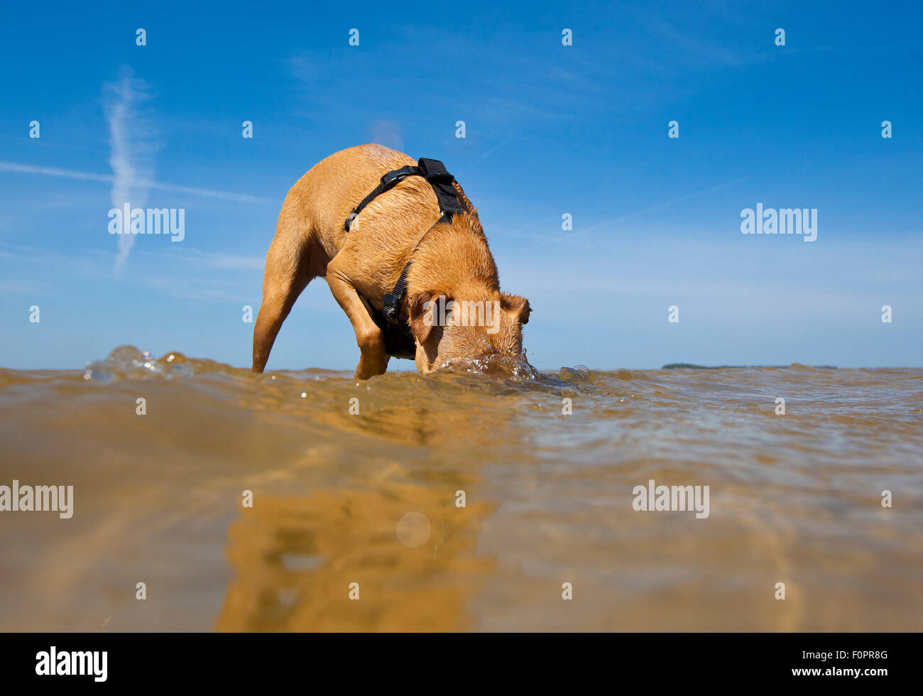 A Dog standing along the shoreline sticking its head underwater to search for crabs - Stock Image