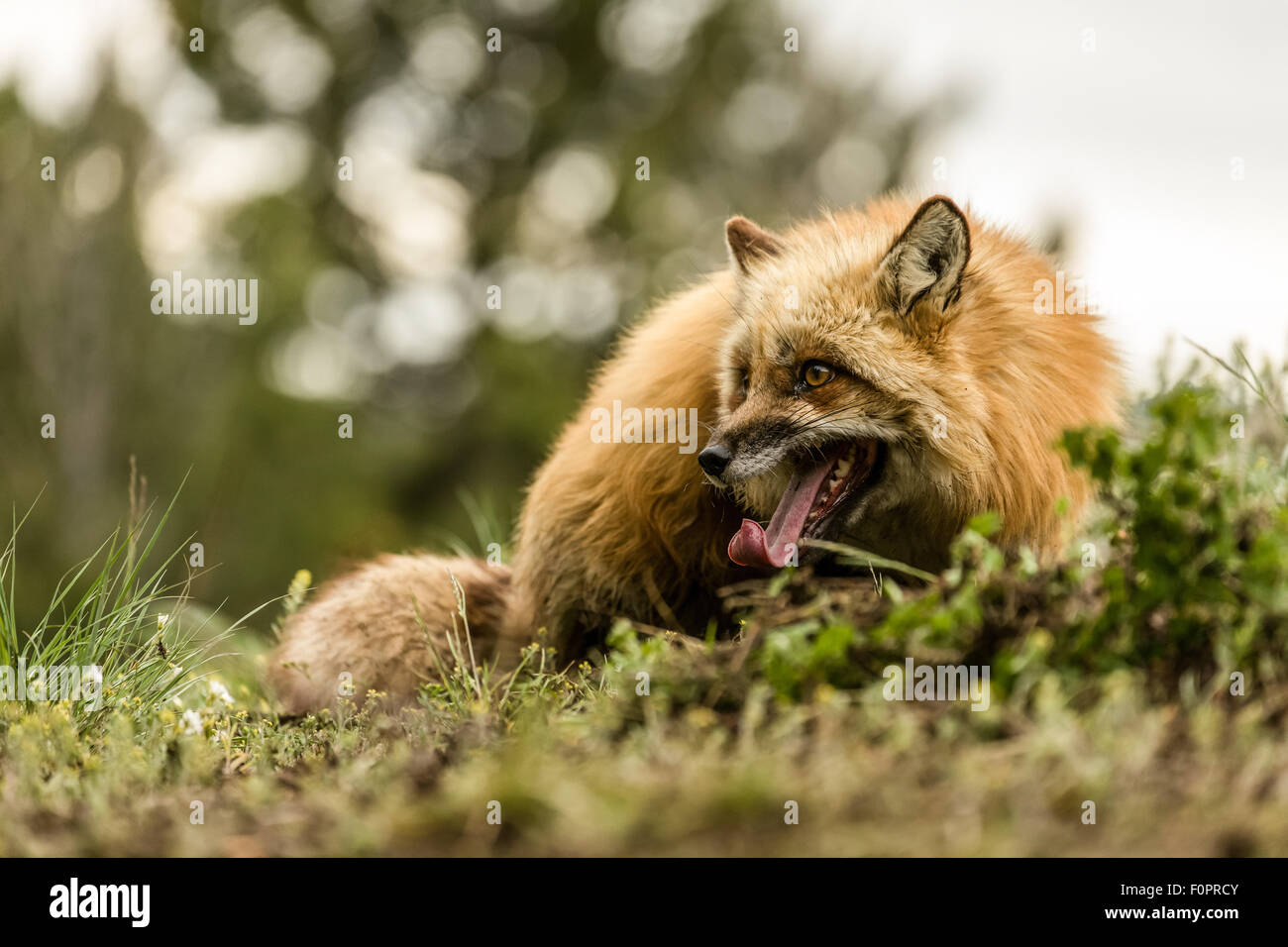 Adult Red Fox cautious about whether it's safe to rest in an indentation in the dirt it had just dug to stay - Stock Image