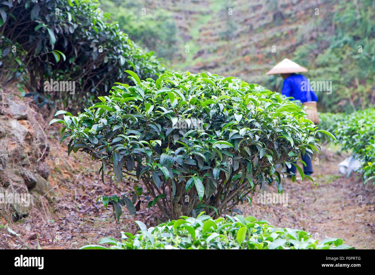 Tea picker in China's Guizhou province Stock Photo