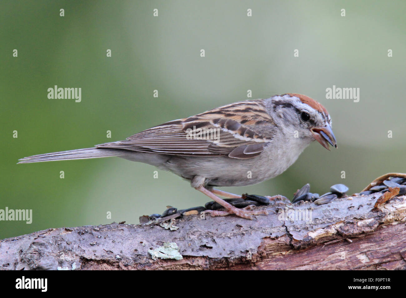 Chipping Sparrow (Spizella passerina) perching on a branch eating seeds. - Stock Image