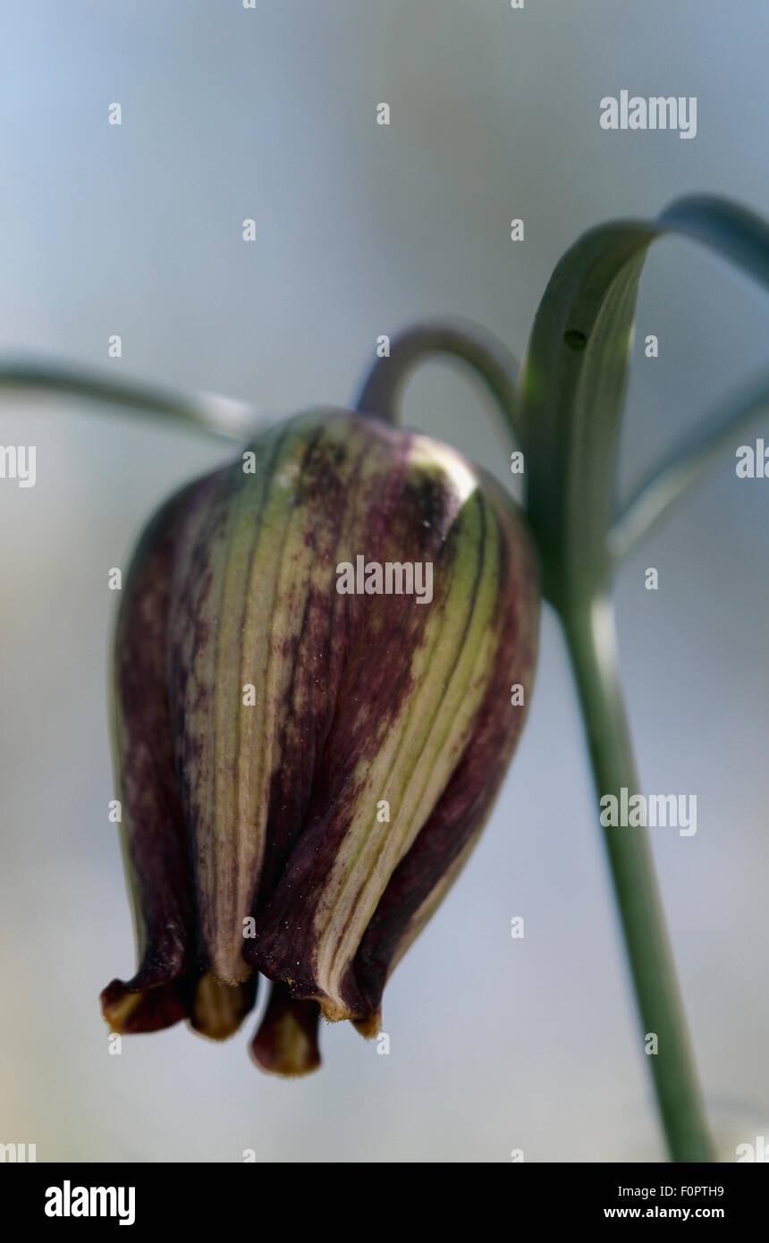 (Fritillaria messanensis) flower, Prina, Crete, Greece, April 2009 Stock Photo
