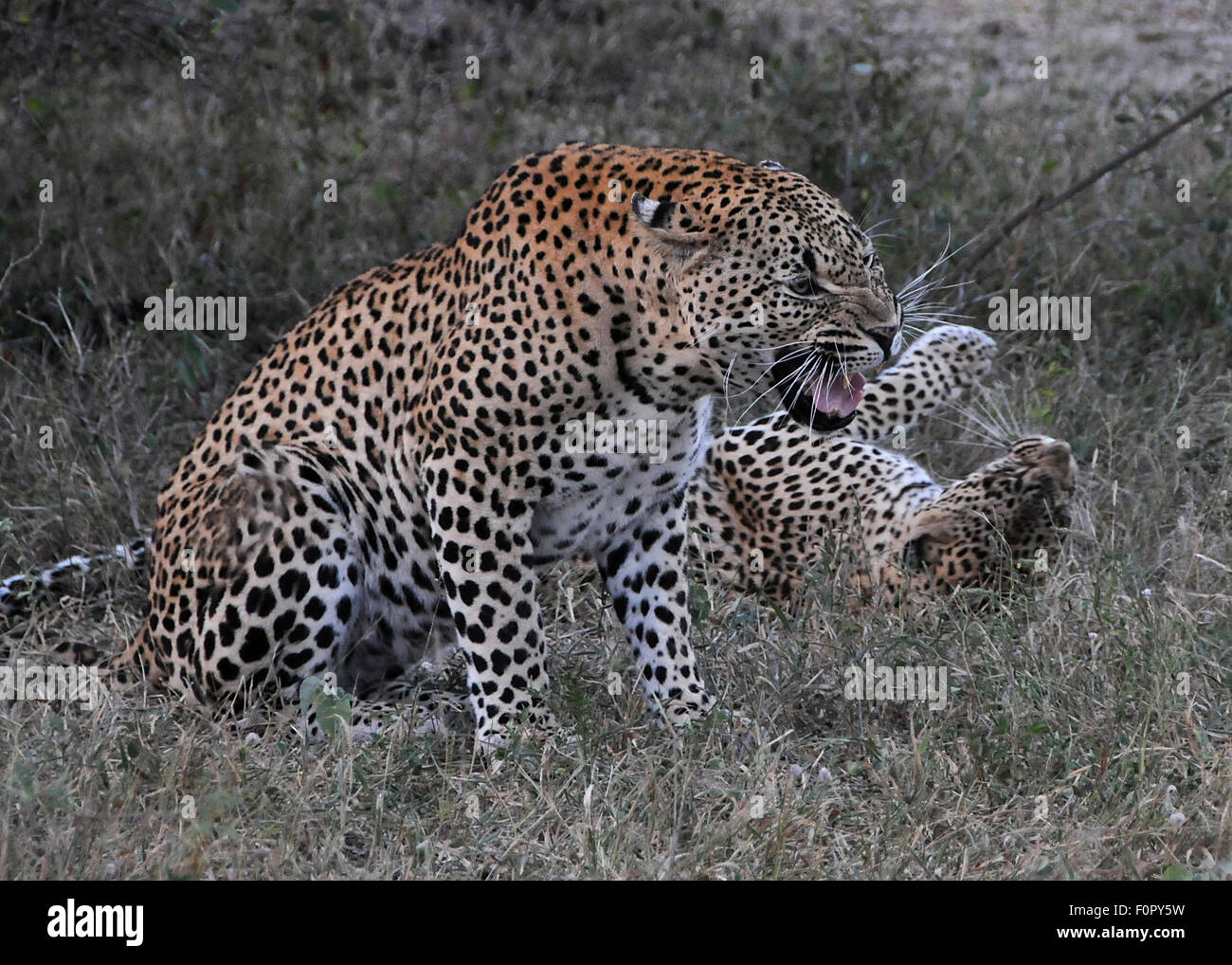 Male leopard snarls after mating while female contentedly lies on her back. - Stock Image