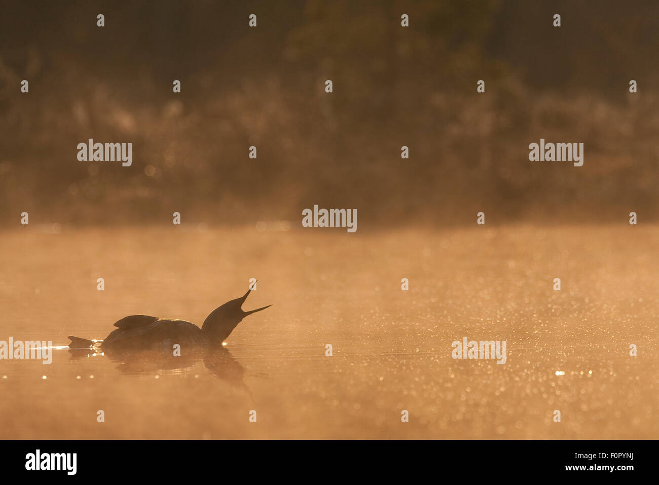 Red throated diver (Gavia stellata) calling on water at dawn in mist, Bergslagen, Sweden, April 2009 - Stock Image