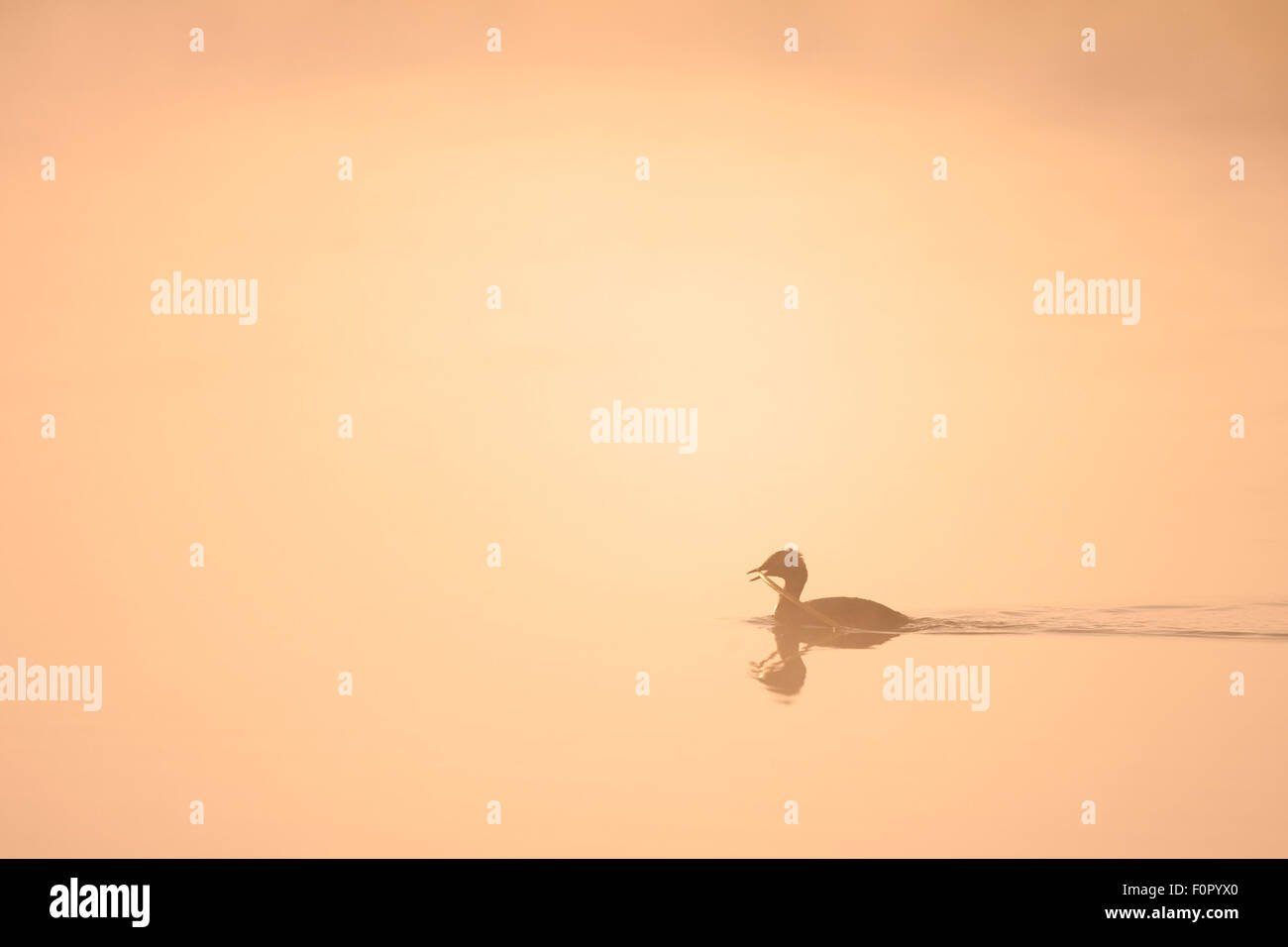 Slavonian / Horned grebe (Podiceps auritus) silhouetted at dawn carrying material to nest, Bergslagen, Sweden, June - Stock Image