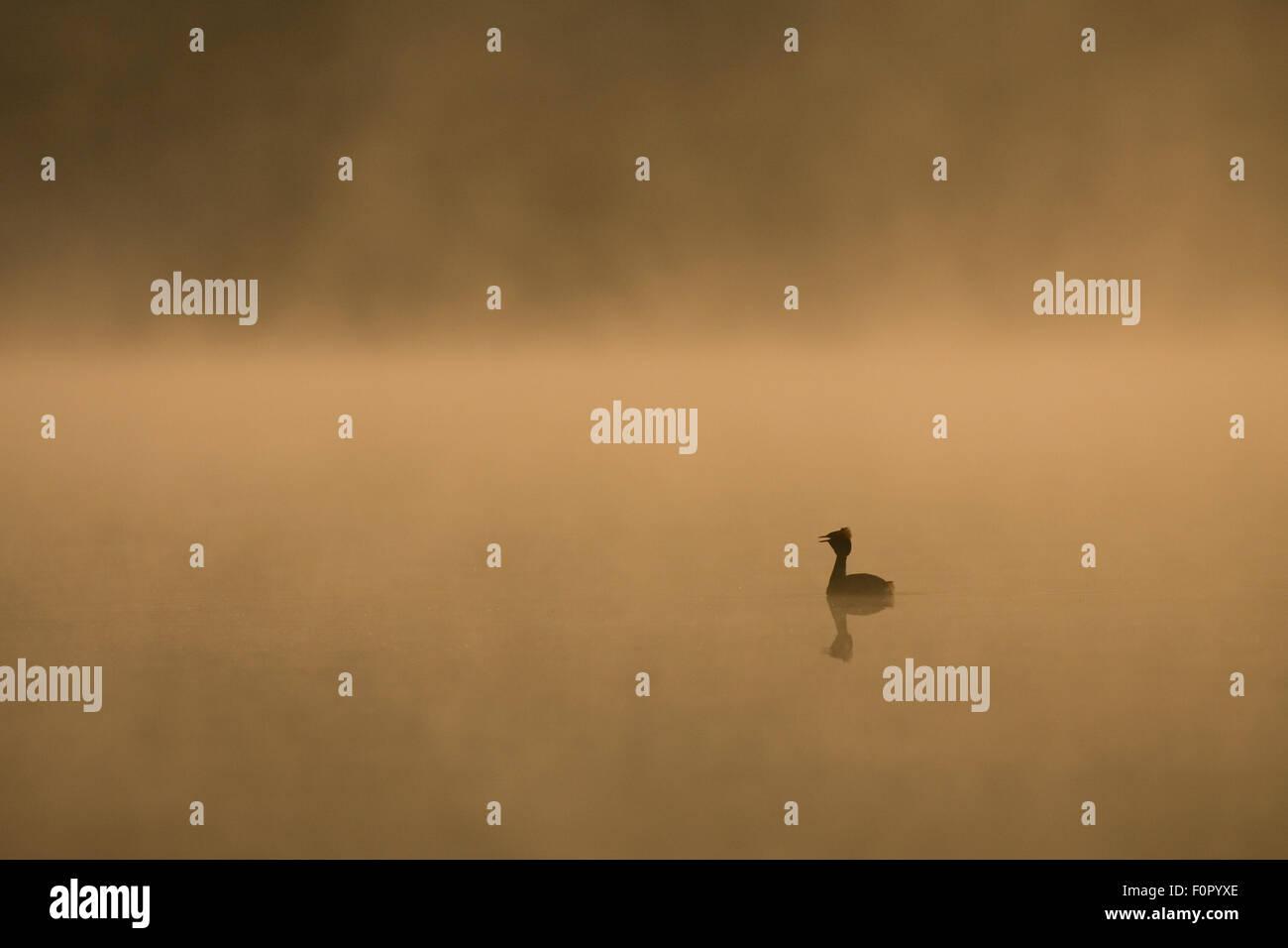 Slavonian grebe (Podiceps auritus) on misty lake at dawn, Bergslagen, Sweden, June 2009 - Stock Image