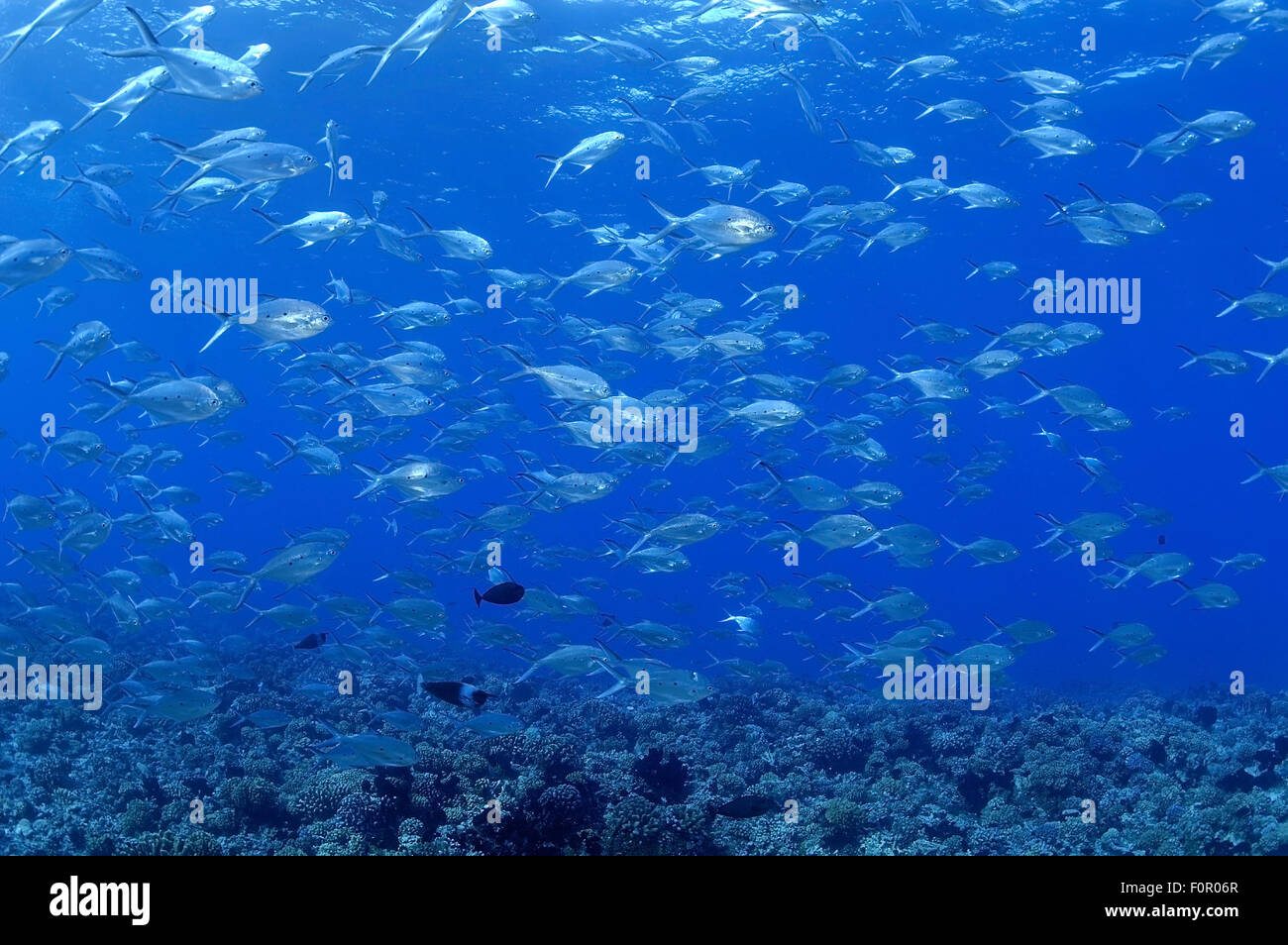 BIG SCHOOL OF POMPANO FISH SWIMMING ON CORAL REEF - Stock Image