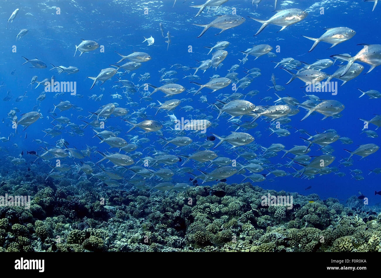 BIG SCHOOL OF POMPANO SWIMMING ON CORAL REEF - Stock Image