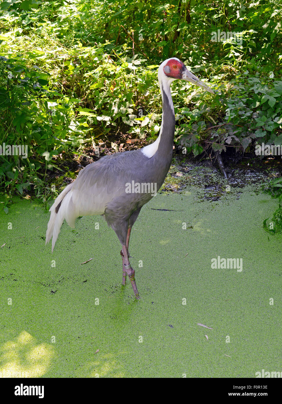 White Naped Cranes Cranes Are Symbolic Of Longevity And Good Luck
