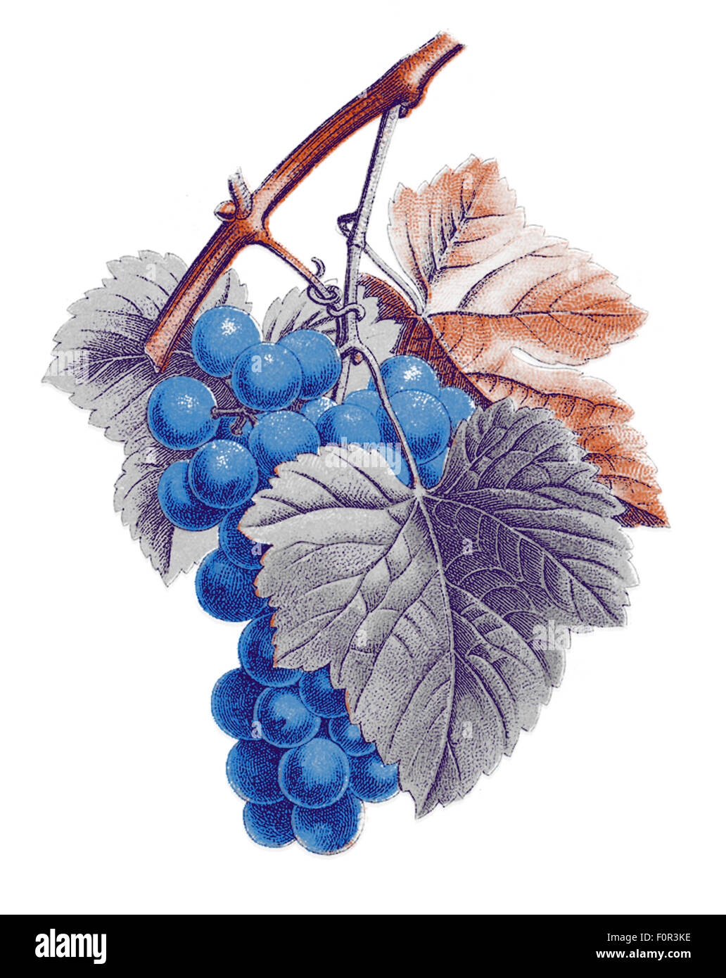 digital illustration based on an ancient botanical specimen (vitis vinifera) and treated as lithography in four - Stock Image