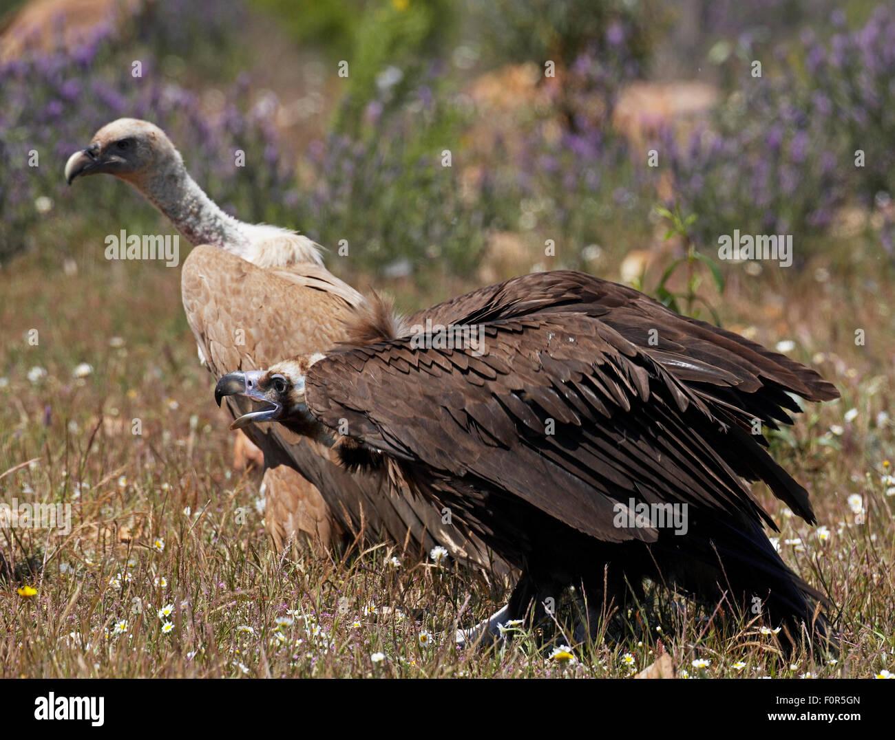 European black vulture (Aegyptus monacha) calling near a Griffon vulture (Gyps fulvus) Extremadura, Spain, April - Stock Image