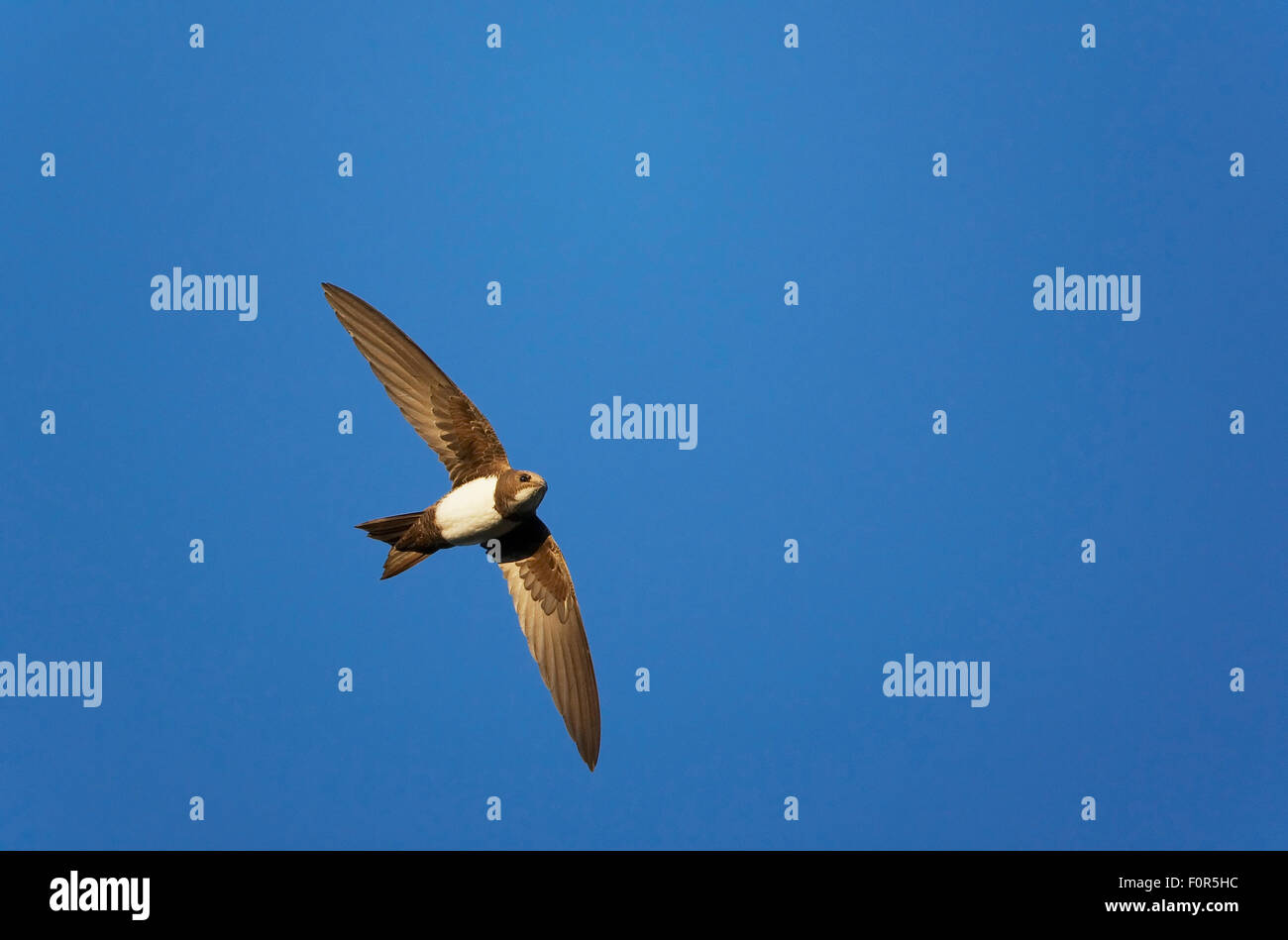 Alpine swift (Tachymarptis melba) in flight, Extremadura, Spain, April 2009 - Stock Image