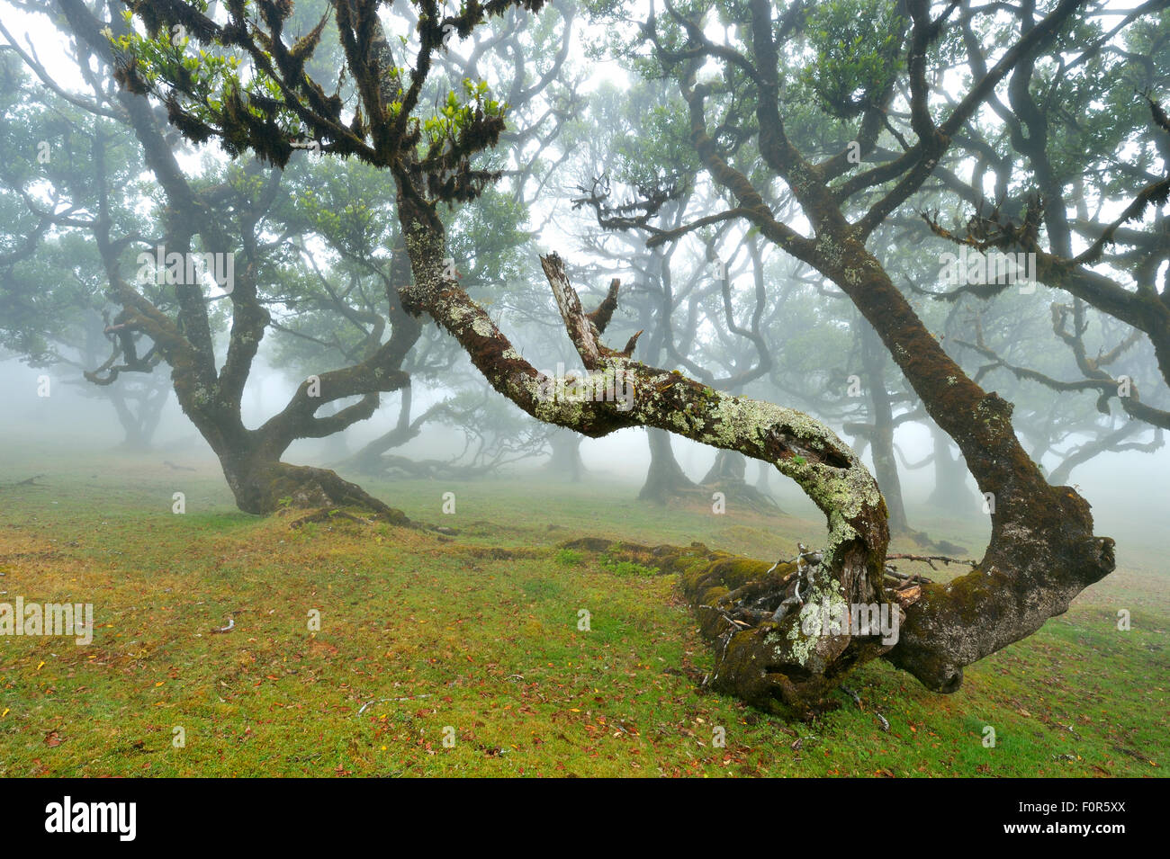 Old laurel forest or Laurissilva Forest, stinkwood (Ocotea foetens) trees in fog, UNESCO World Heritage Site, Fanal, - Stock Image