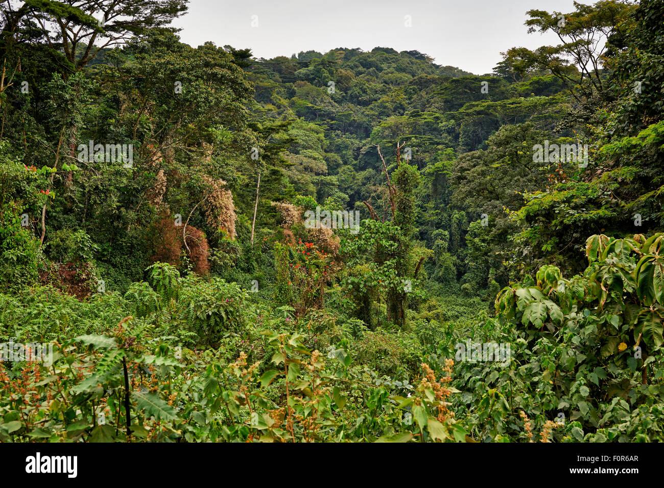 rain forest of Bwindi Impenetrable National Park, Uganda, Africa - Stock Image