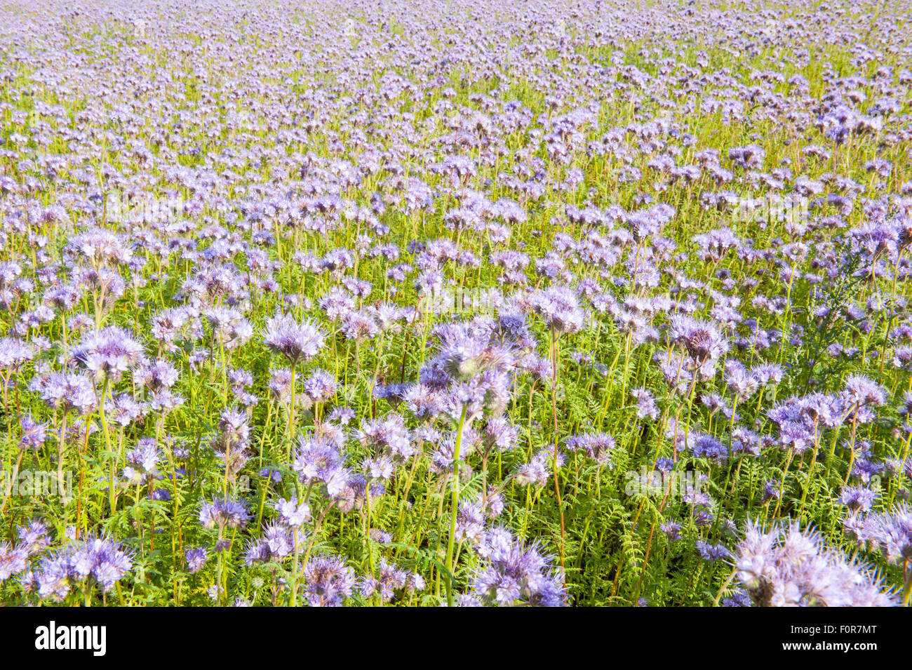 Field of pink wildflowers in green flowerbed for honey bees - Stock Image