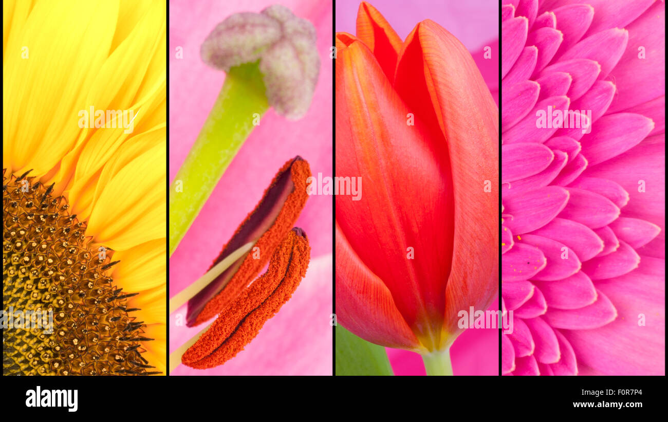 Collage of yellow Sunflower pink Gerbera and rd Tulip in close up separated with black strips - Stock Image