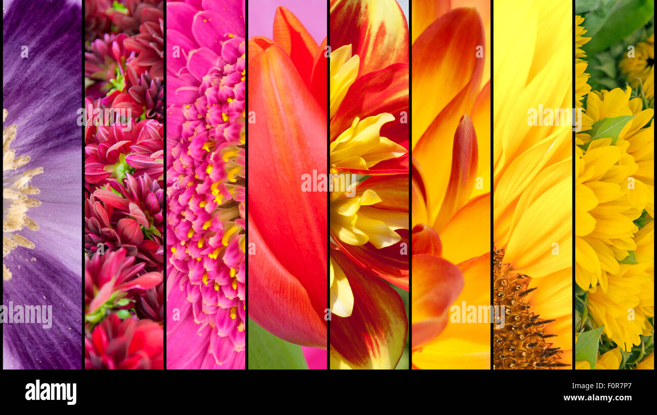 Collage of purple Poppy pink Dahlia lila Gerbera red Tulip yellow Sunflower in close up separated with black strips - Stock Image