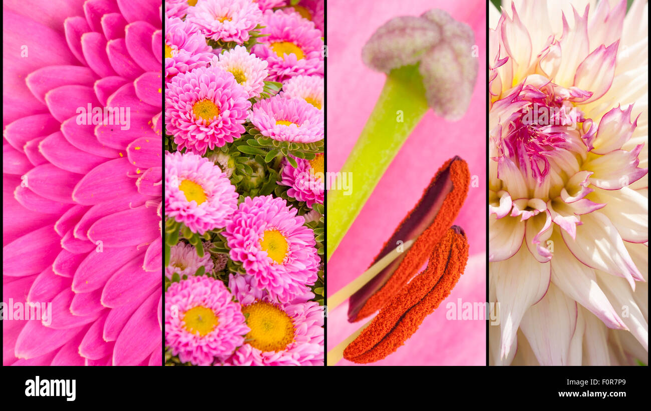 Collage of pink Dahlia, Gerbera and Lily in extreme close up and separated with black strips - Stock Image