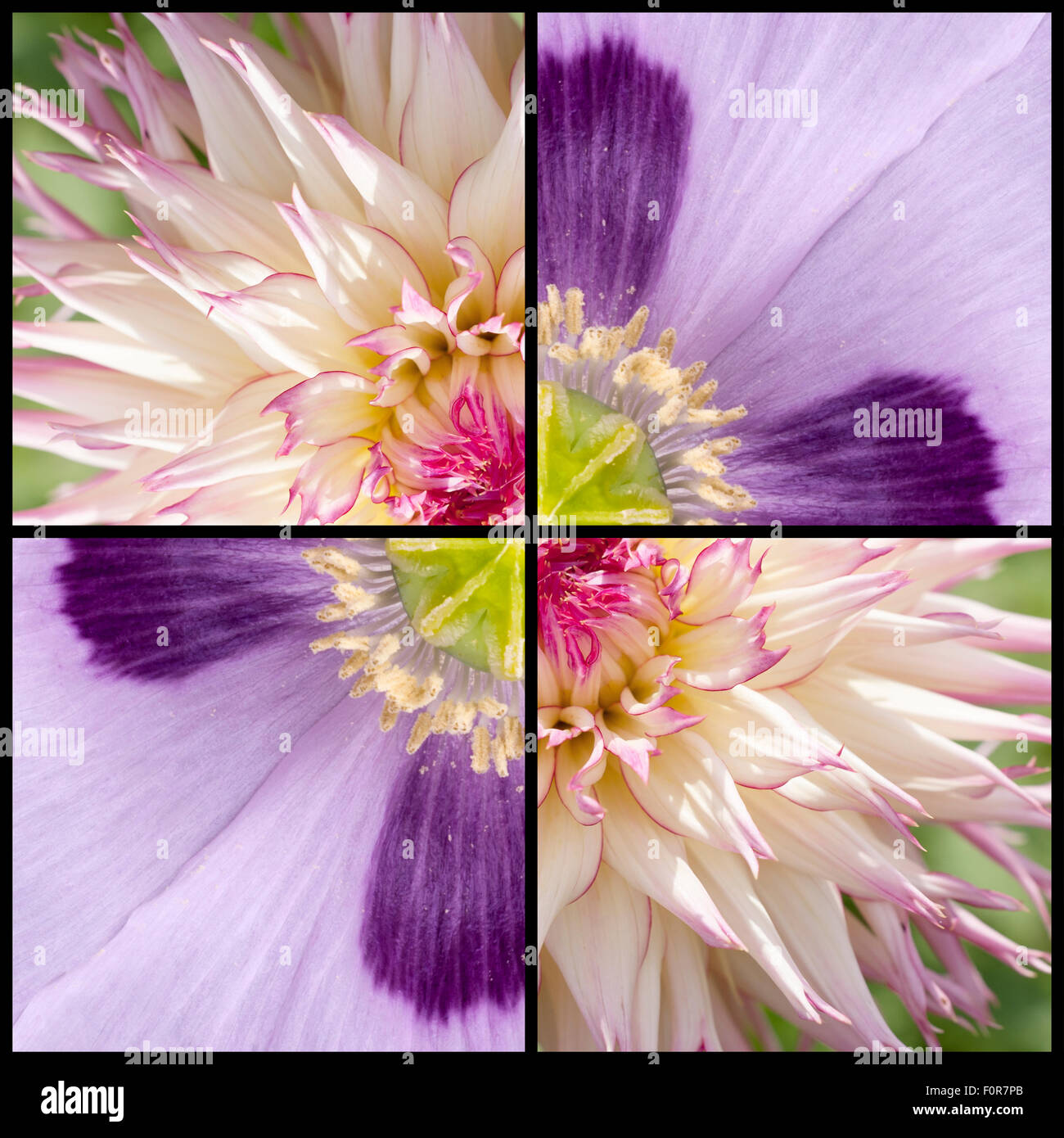 Collage of pink purple Poppy and while lila Dahlia in a square frame and extreme closeup - Stock Image