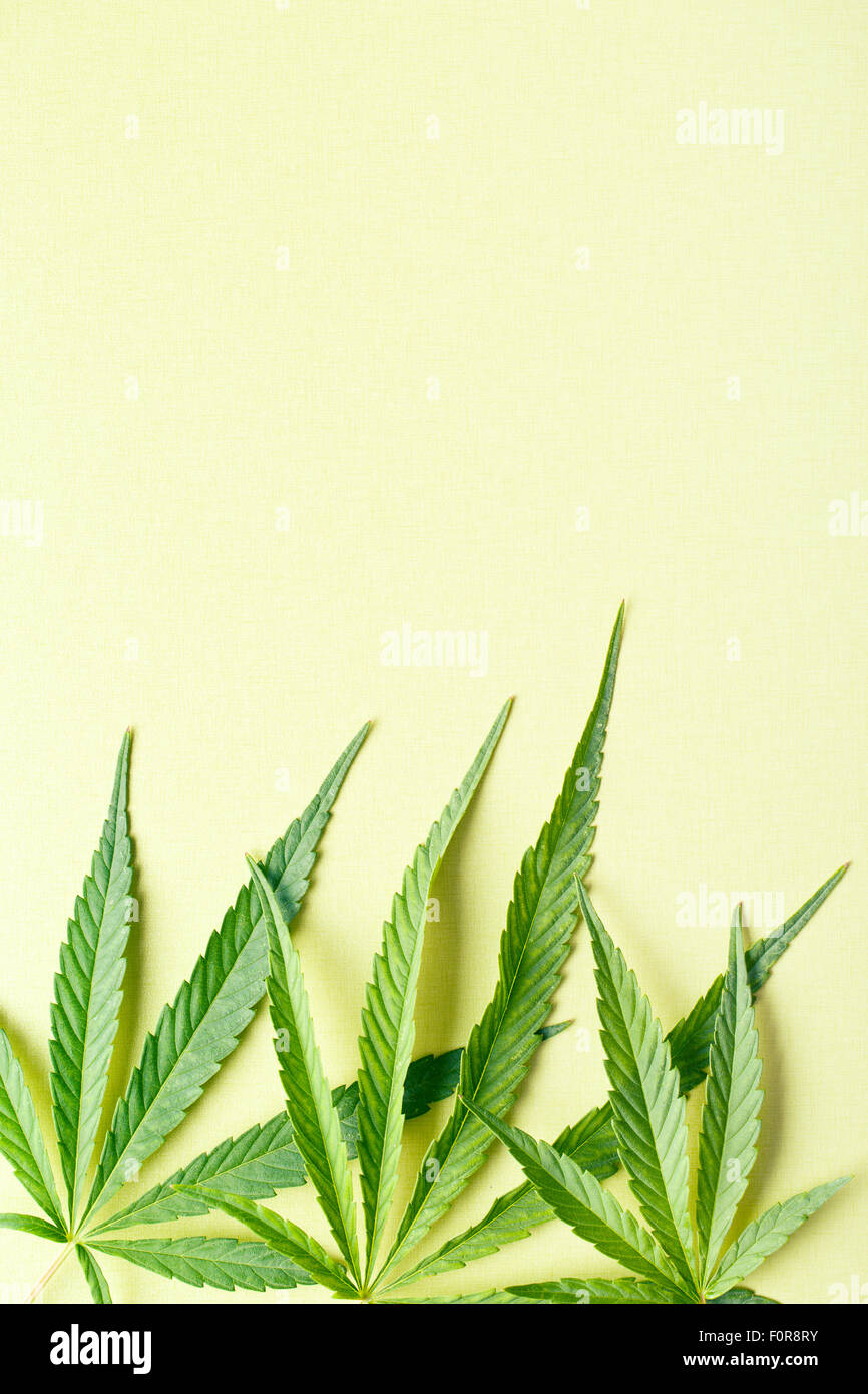 cannabis leaves on yellow background - Stock Image