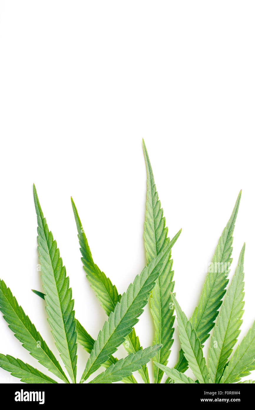 cannabis leaves on white background - Stock Image