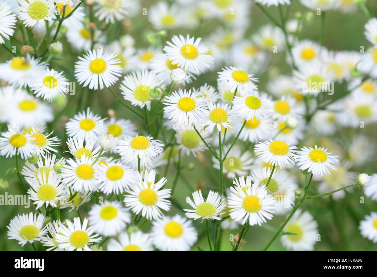 Small White Daisy Flowers Stock Photos Small White Daisy Flowers