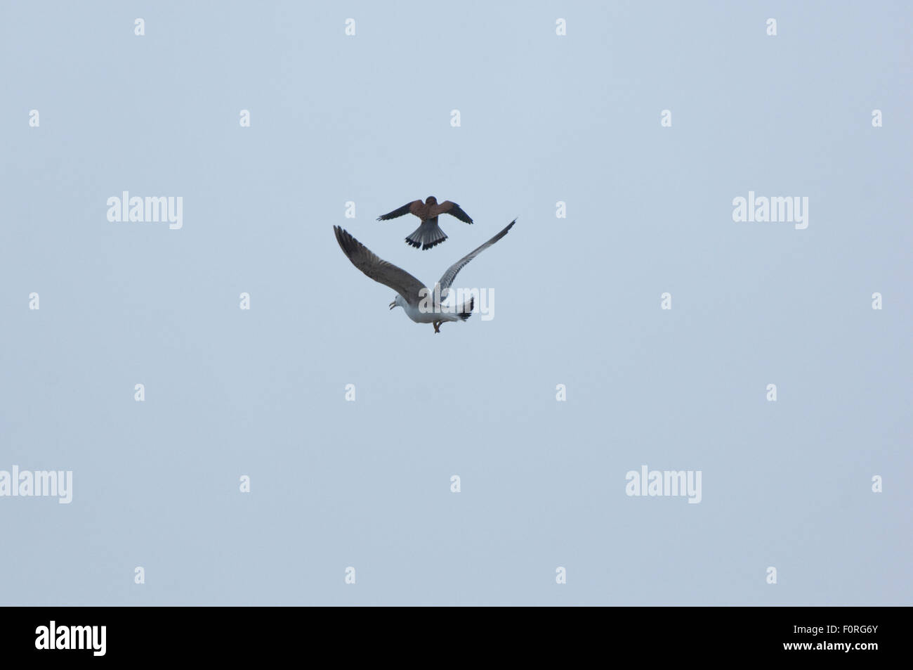 Kestrel (Falco tinninculus) and Gull in flight, the Vatican garden, Rome, Italy, March 2010 - Stock Image