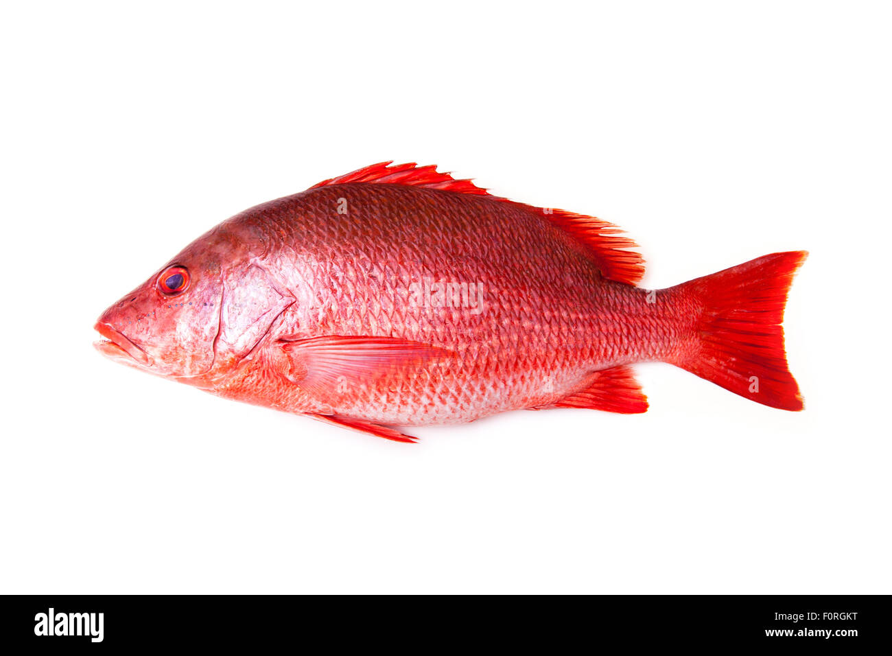 Northern Red Snapper Lutjanus campechanus fish isolated on a white background. Stock Photo