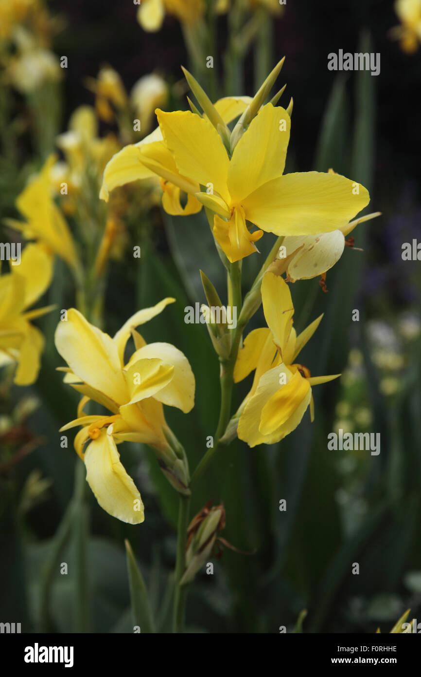 Canna 'Ra' close up of flower - Stock Image