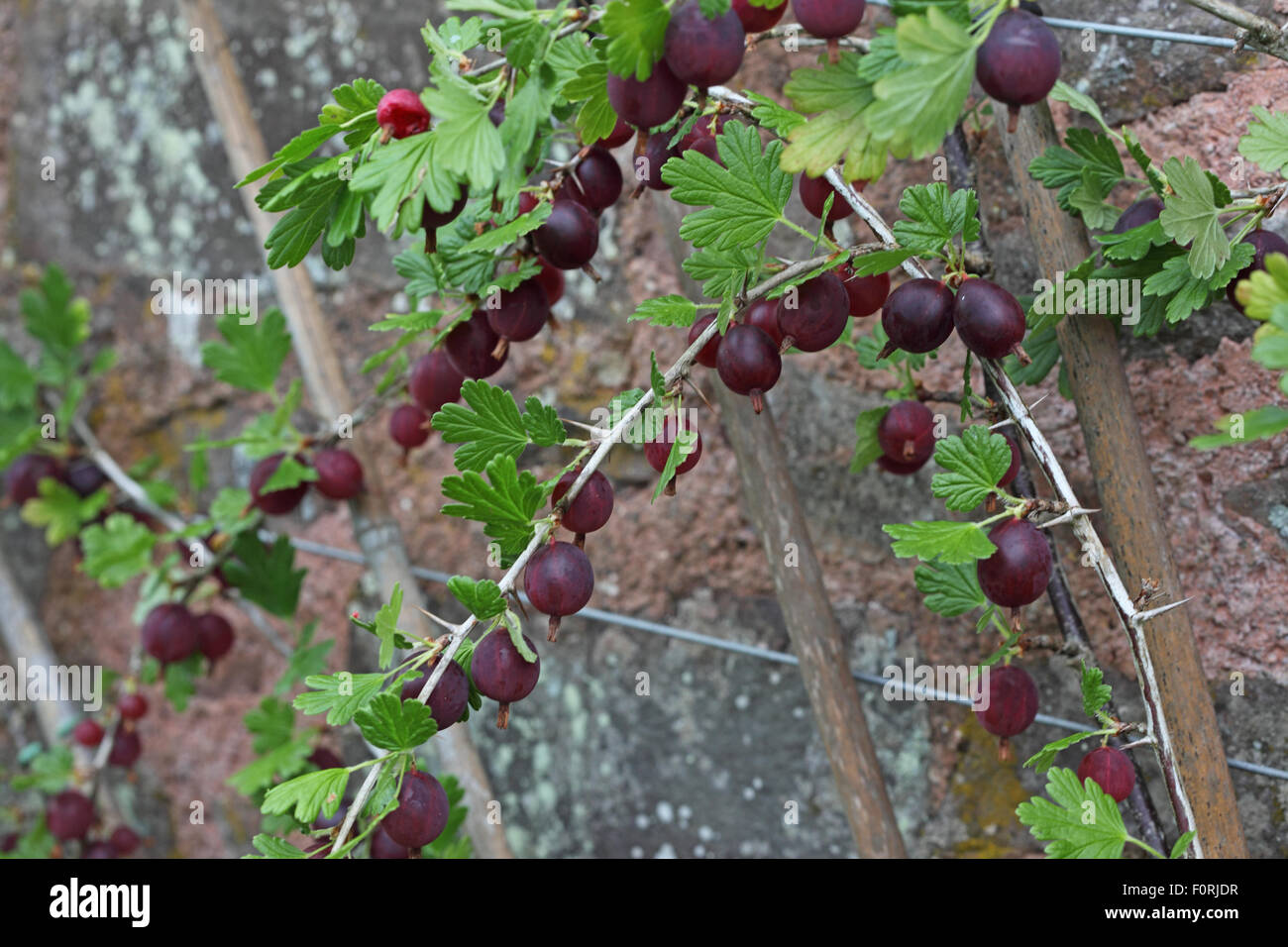 Ribes divariculatum Worcesterberry trained cordon with ripe fruit - Stock Image