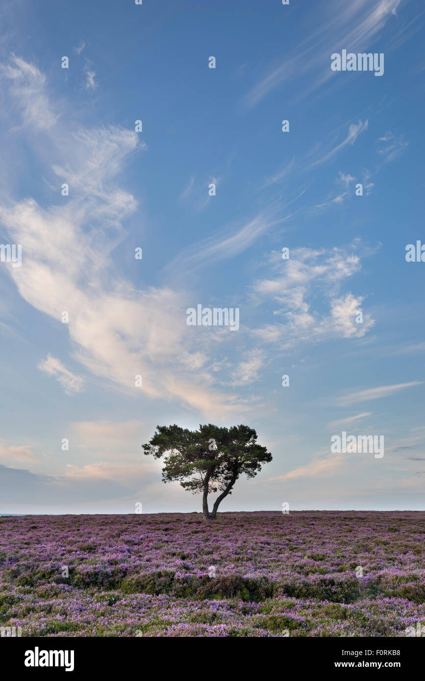 Lone tree and heather in bloom on Wheeldale Moor, The North Yorkshire Moors, England, August 2015 Stock Photo