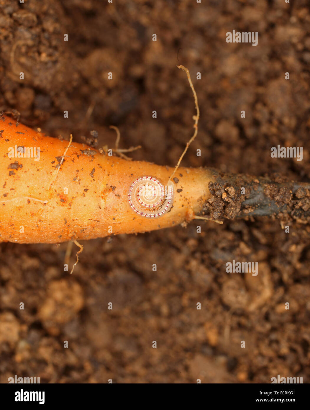 Blaniulus guttalatus Spotted millipede curled into coil when disturbed - Stock Image